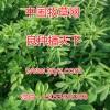 紫花苜蓿除草剂 苜蓿种子苜蓿除草剂苜蓿地里干干净净