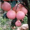正达三红蜜柚种植前景分析