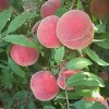 桃树新品种基地:潍坊优质桃树新品种价格