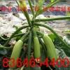 西葫芦种子,露天西葫芦种子,越冬西葫芦种子,耐寒西葫芦种子