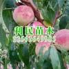 好种植的金秋红蜜桃苗优选青州利民苗木_易种植的金秋红蜜桃苗