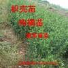 供应绿篱树,篱笆墙,枸橘苗,枳壳苗,马甲子苗