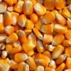 饲料厂大量求购玉米次粉高粱等各种饲料原料