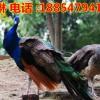 蓝孔雀价格一只多少钱