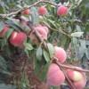 映霜红桃苗制造商|供应山东超值的映霜红桃苗