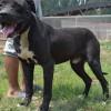 3个月纯种卡斯罗图片$北京卡斯罗犬价格