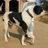 北京卡斯罗犬价格$小卡斯罗犬多少钱一只