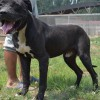 卡斯罗幼犬一只多少钱$卡斯罗价格多少钱一只