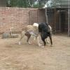 3个月马犬多少钱一只
