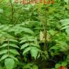 刺嫩芽苗价格,刺嫩芽小苗,刺嫩芽基地