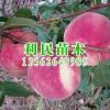金秋红蜜桃苗,品种好的金秋红蜜桃苗哪里买