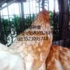 沧州青年鸡厂家