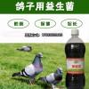 启富养鸽益生菌对养鸽预防拉稀效果好