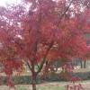 拧筋槭小苗&拧筋槭基地