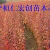 九角枫小苗&九角枫基地