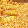 现金求购玉米小麦高梁