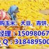 本人大量收购玉米|垄上长期收购(实力厂家)