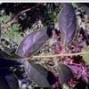 供应植物提取物青藤碱