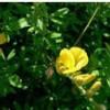 供应植物提取物染料木素
