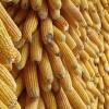 金富楼酒厂诚意求购碎米糯米小麦高梁玉米木薯淀粉