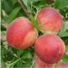 桃花盛开的地方,油蟠5桃苗基地/油蟠5桃苗种植基地