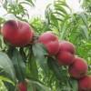 甜甜甜,好吃【中油21桃苗】【基地,种植基地】利民