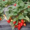 章姬草莓苗价格量大从优,供应章姬草莓苗