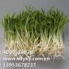 种菜利用新科技--山东益康园芽苗菜