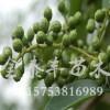 天津花椒苗_验证手机号自动送彩金山东成活率高的花椒树苗