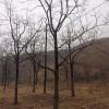 河北保定柿子树基地 10公分12公分15公分20公分柿子树大量供应