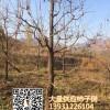 河北保定15公分柿子树价格 柿树 磨盘柿子树 大量供应