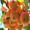 出售沙果苗,双八以上优质沙果苗批发,吉林杨坤苗圃