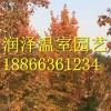 中天玫瑰\北美红枫\大果栎\加拿大槭
