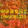 太阳花,美国红枫秋日梦幻,大果栎,挪威槭,彩叶豆梨,银红槭