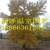 中天玫瑰 美国红枫 银红槭狂欢 槲树