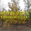 槲树-银白槭银皇后-欧洲丁香