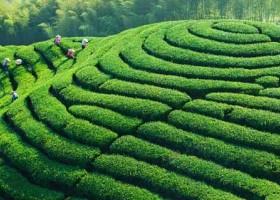 2019第十六届上海国际茶业交易博览会
