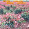 红叶石楠球种植基地 陕西周至绿化苗木 送货栽植可靠商家