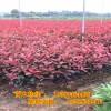 红叶石楠绿篱苗批发 高度80厘米陕西周至绿化苗木基地