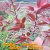 红叶石楠小苗哪有卖 陕西西安红叶石楠苗木厂家