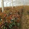 花卉小苗批发,花卉小苗促销价格,花卉小苗产地货源