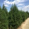 白皮松供应商,价格、山西白皮松批发市场-山西春秋园林