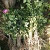 山茶油树苗供应