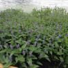 水生植物基地,水生植物产地,水生植物厂家