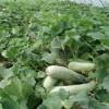 羊角蜜甜瓜种子甜瓜种子新品种
