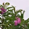 香花槐树苗基地批发优质彩色绿化苗木香花槐苗