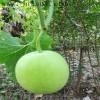 优质冬瓜种子香芋冬瓜种子