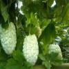 新型瓜果种子苹果苦瓜种子