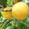供应杏树苗荷兰香蜜杏树苗批发