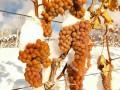 威代尔冰葡萄酒 集安味道威代尔冰葡萄酒 加拿大冰葡萄酒 (4图)